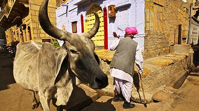 O.Yurdalan-06.02.2011-Jaisalmer-Şehrin sokaklarını tüm canlılar birlikte kullanıyor.P1050073