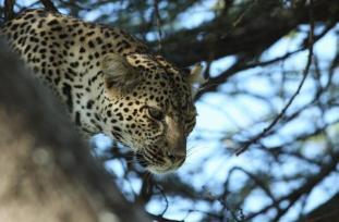 Tanzanya- Kartal Biçerbay