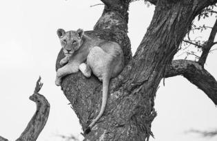 Tanzanya- Velit Gazel